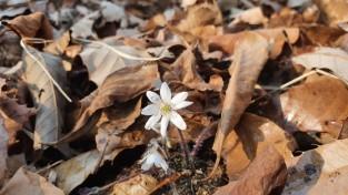봄을 알리는 대표적인 야생화 '노루귀' 꽃